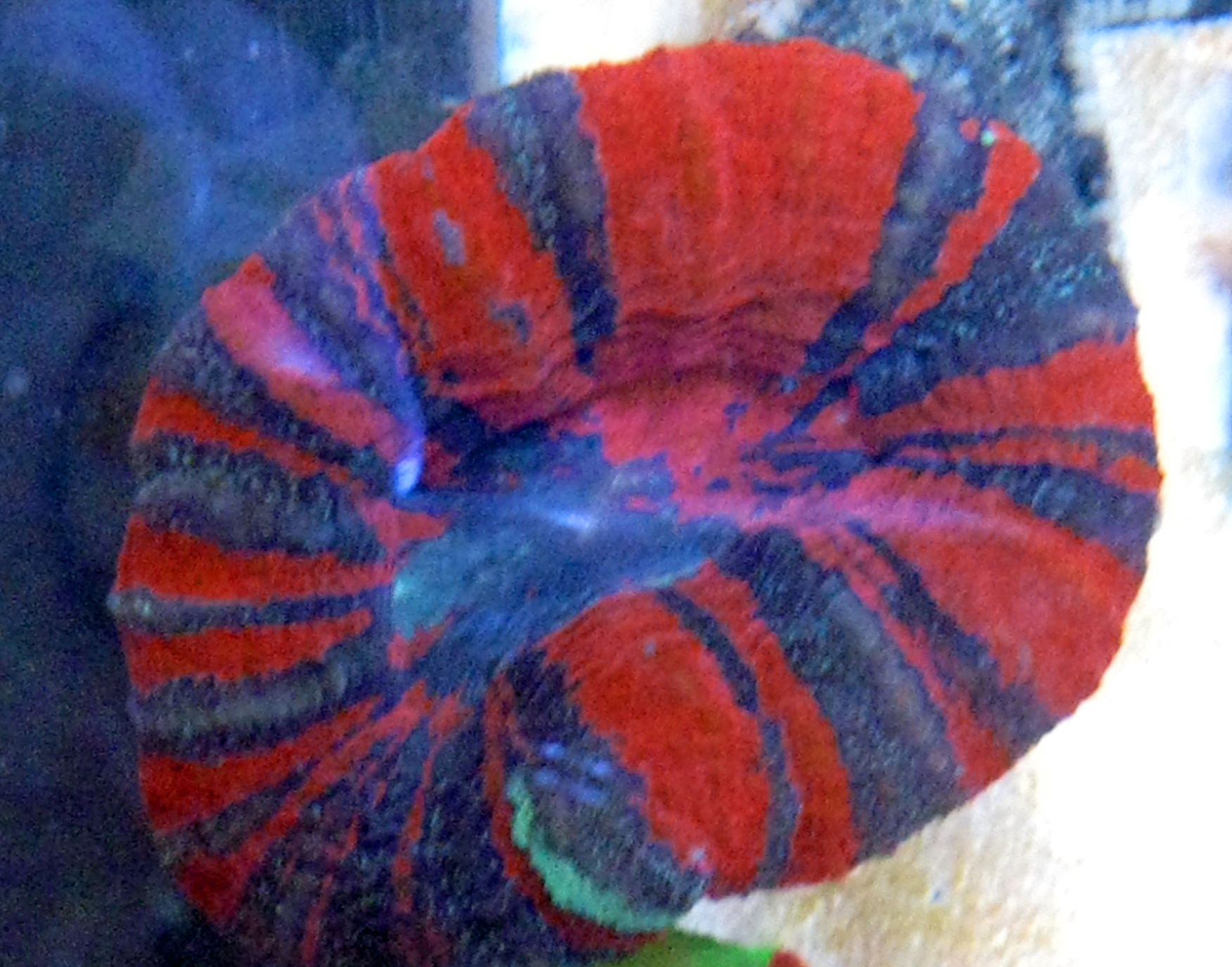 Aussie Ultra Scoly Blue-Red