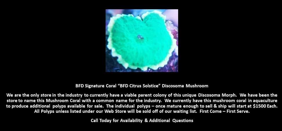 BFD Citrus Solstice Discosoma Mushroom