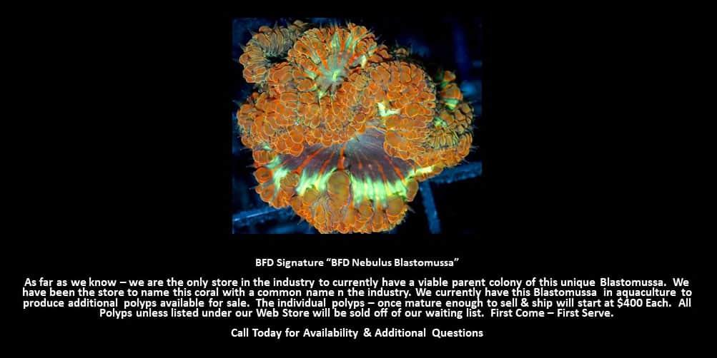 BFD Nebulus Blastomussa