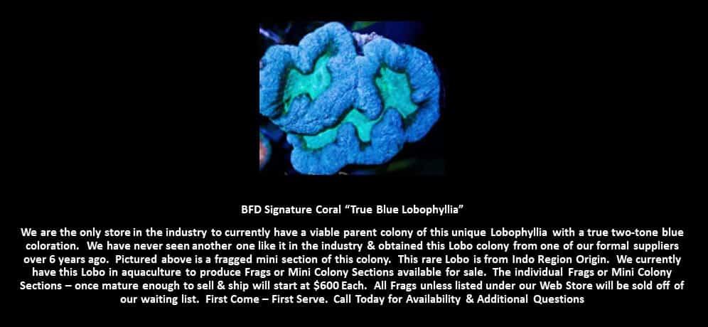 BFD True Blue Lobophyllia
