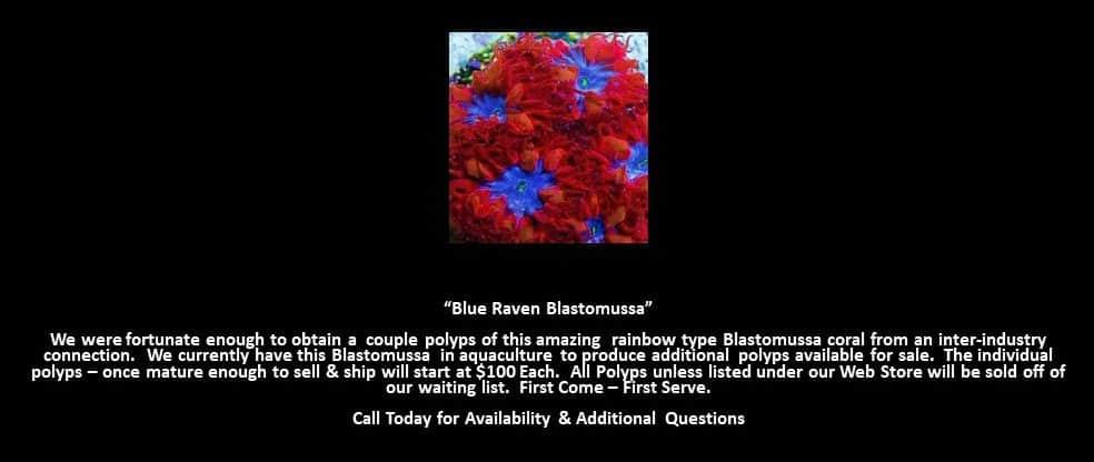Blue Raven Blastomussa