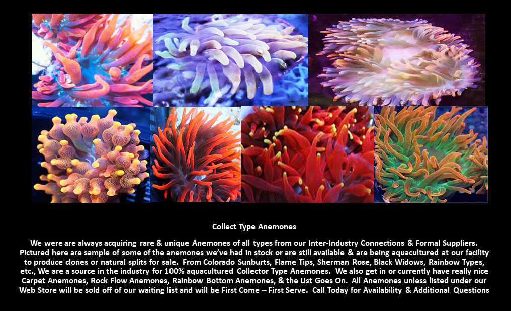 Collector Anemones